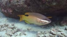 Female Hawaiian Hogfish Turns To Face Camera
