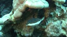 Whitley´S Boxfish, Female Feeds Algae, Looks At Camera