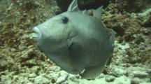 Bat Triggerfish(Fine Scale Trigger)Lunges At Camera-Caring For Eggs