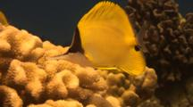 Long Nosed Butterfly  Uses Beak To Feed On Cauliflower Coral