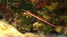Red-Stripe Pipefish Shares Space With Golden Goby