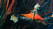 Long Nose Hawkfish Rests In Black Coral Tree, Swims Away