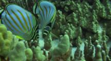 Pair Ornate Butterflies Feed On Coral Algae, Face Camera