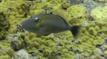 Lei Triggerfish Feeds Lobe Coral, Expels Sand Thru Gills