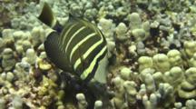 Sailfin Tang Feeds Leisurely On  Coral Algae, C/U