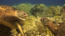 2 Male Green Sea Turtles Have Disagreement