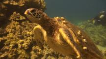 Green Turtle Swims To And Beside Camera, Diver Background