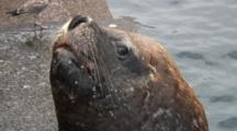 Huge Bull Sea Lion Waits For Fish Scraps--Antofagasta, Chile