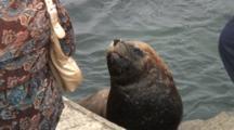 Woman Buying Fresh Fish As Sea Lion Awaits Scraps--Antofagasta, Chile