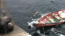 South American Sea Lions Await Fish Scraps--Antofagasta, Chile