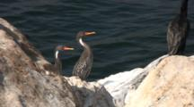 Pair Red-Legged Cormorants At Water´S Edge