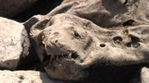 Dried Up Hide Of South American Sea Lion
