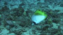 Threadfin Butterfly Fish Feeding Coral Rubble, Incl Sea Star