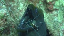 Scarlet Lady Cleaner Shrimp Cleans Undulated Moray´S Mouth