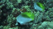 Pair Threadfin Butterflies Feed Along Coral Reef