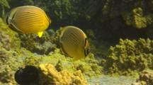 Pair Oval Butterfly Fish Close To Coral