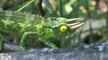 Three Horned Chameleon Crawls Along Branch-Good Eye Movement