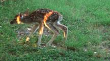Newborn Whitetail Fawn Struggles To Take First Steps