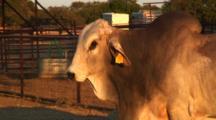 Prize Brahma Bull Poses For Camera