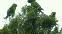 Several Slender-Billed Conures(Chilean Parrot) Preen In Treetop