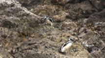 Pair Humboldt Penguins Scramble Down Rock Path
