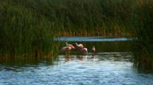 Distant View Roseate Spoonbills Feeding