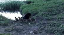 Mother And 4 Ducklings Enter Water