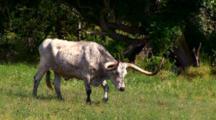 Champion Texas Longhorn Walks Thru Pasture