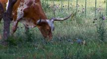 Texas Longhorn Steer Grazes In Pasture