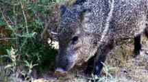 Lone Collared Peccary Grazes On Bush, C/U Head