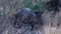 Lone Collared Peccary Moving Thru Brush