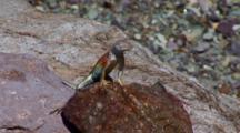 Colorful Lizard On Rock--Big Bend National Park