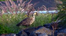 Hawaiian Nene(Goose) Nibbling On Plants