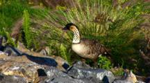 Hawaiian Nene(Goose)On Rock Wall, Feeding