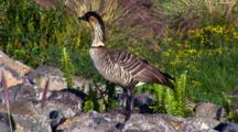 Hawaiian Nene(Goose)On Rock Wall, Posing Nicely
