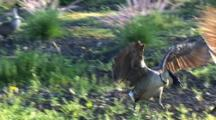 1 Hawaiian Nene(Goose)Chases Another, Making It Fly