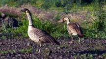 2 Hawaiian Nene(Goose)Walk Slowly, Looking For Food
