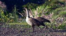 2 Hawaiian Nene(Goose)Walk Together, Looking For Food