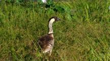 Hawaiian Nene(Goose)Eating Grass Seed