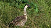 Hawaiian Nene(Goose)Stretching To Reach Grass Seed