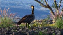 Hawaiian Nene(Goose)Posing, Overlooking Valley Below