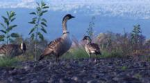 3 Hawaiian Nene(Goose)Walking Along Edge Of Overlook