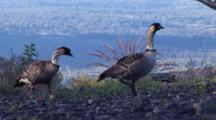 2 Hawaiian Nene(Goose)Walking Along Edge Of Overlook