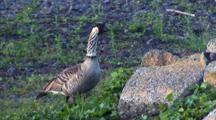 Hawaiian Nene(Goose)Eating Plant, Walks Away