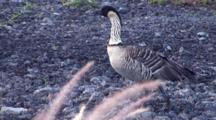 Hawaiian Nene(Goose)Walking Thru Rocky Area