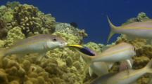 Yellowfin Goatfish Cleaned By Hawaiian Cleaner Wrasse In Mouth
