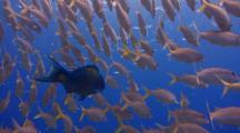 Camera Moves Thru School Yellowfin Goatfish W/Parrotfish