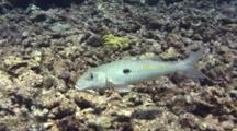 Yellowstripe Goatfish Feeds, Swims Away
