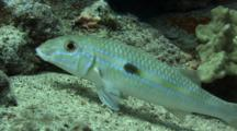 Yellowstripe Goatfish Profile On Sand
