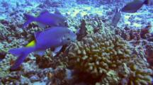 Blue Goatfish Feeding Frantically At Coralhead
